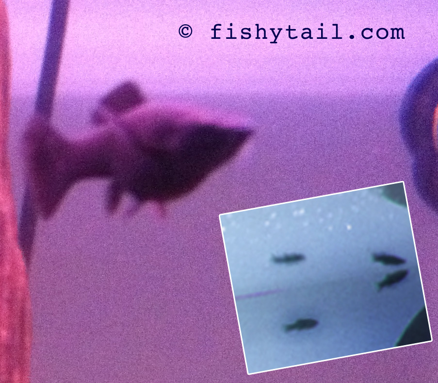 301 Moved Permanently Black Molly Fish Babies